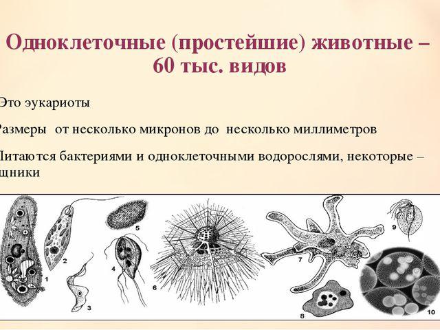 Одноклеточные (простейшие) животные – 60 тыс. видов 1. Это эукариоты 2.Размер...