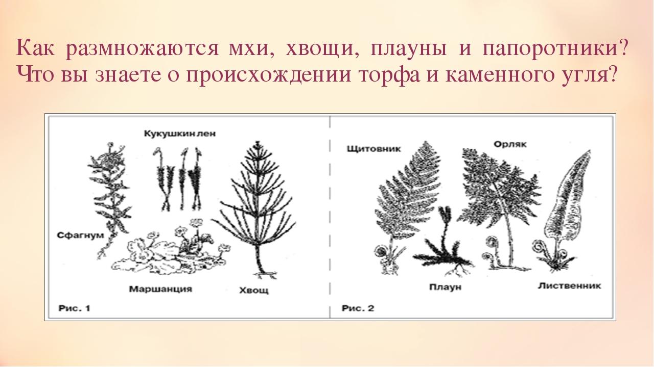 Как размножаются мхи, хвощи, плауны и папоротники? Что вы знаете о происхожде...