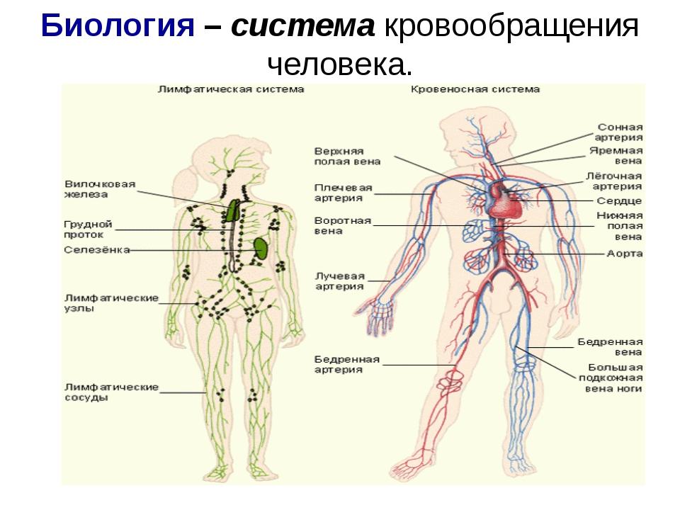 Биология – система кровообращения человека.