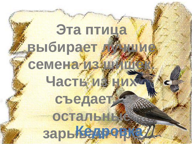 Эта птица выбирает лучшие семена из шишек. Часть из них съедает, а остальные...