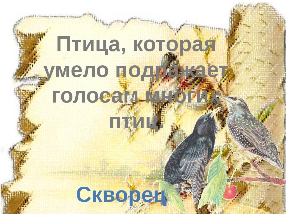 Птица, которая умело подражает голосам многих птиц. Скворец