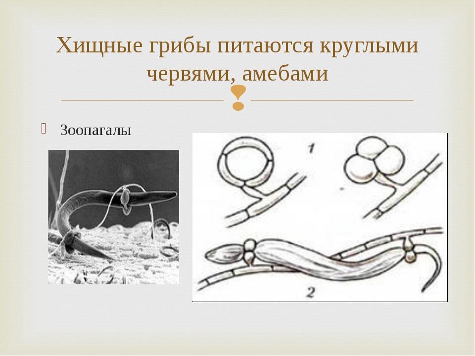 Зоопагалы Хищные грибы питаются круглыми червями, амебами