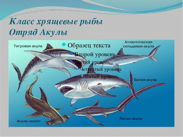 Класс хрящевые рыбы Отряд Акулы