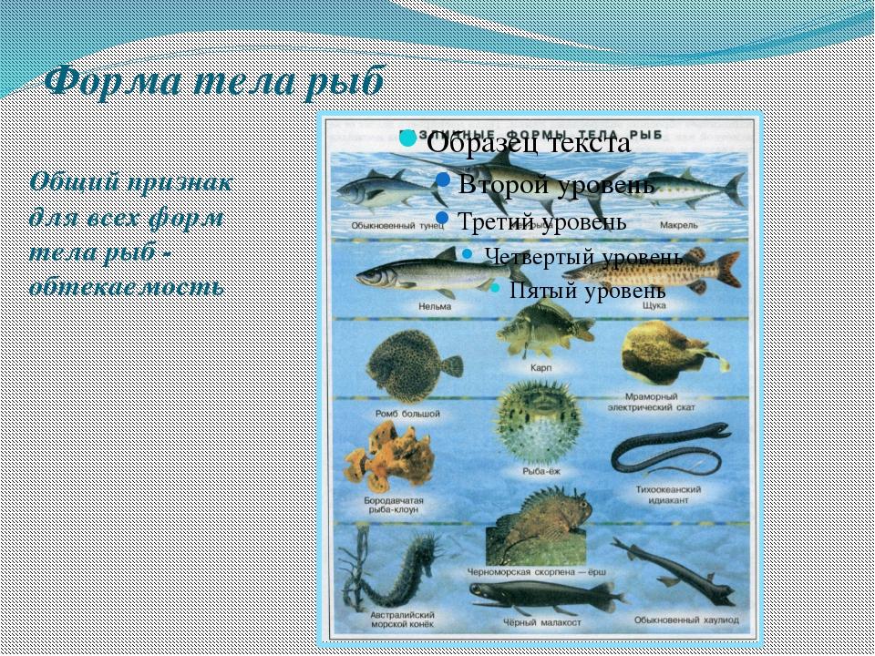 Форма тела рыб Общий признак для всех форм тела рыб - обтекаемость Общий приз...