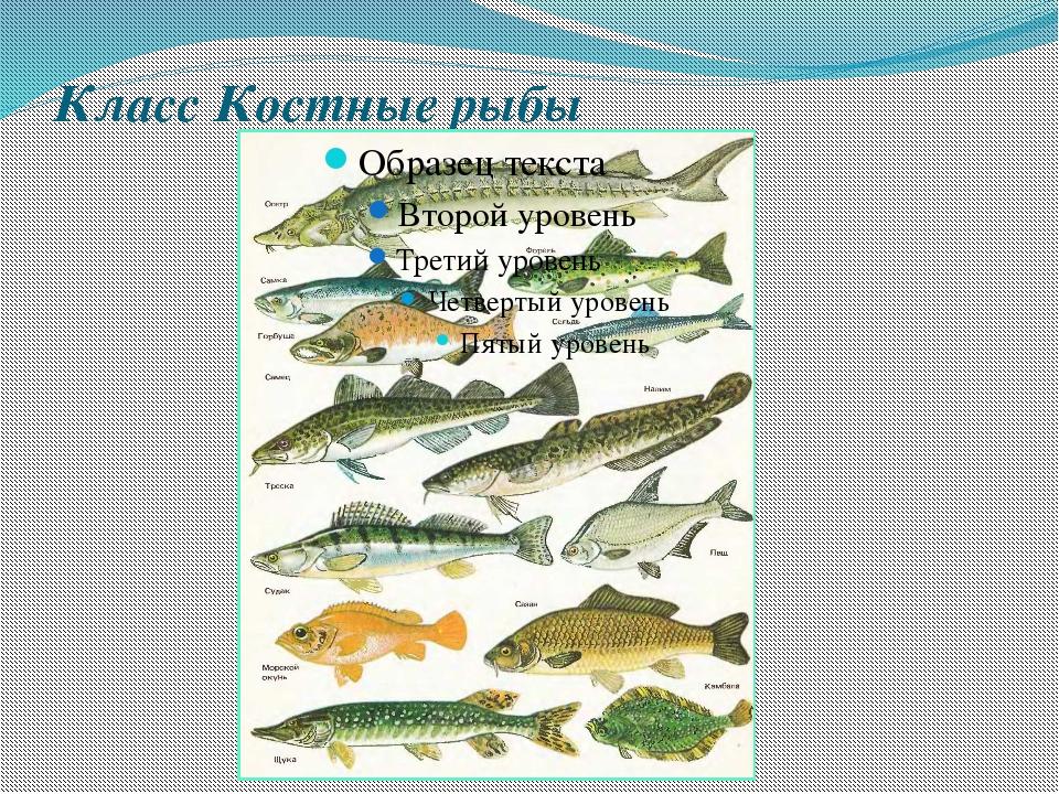 Класс Костные рыбы