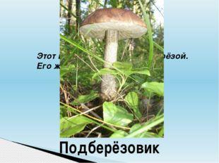 Этот гриб очень дружен с берёзой. Его жарят, сушат и варят. Подберёзовик