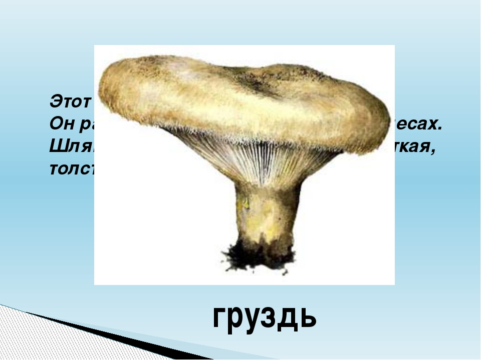 Этот гриб начинается с буквы «Г». Он растёт в хвойных и лиственных лесах. Шля...