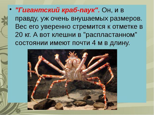 """""""Гигантский краб-паук"""". Он, и в правду, уж очень внушаемых размеров. Вес его..."""