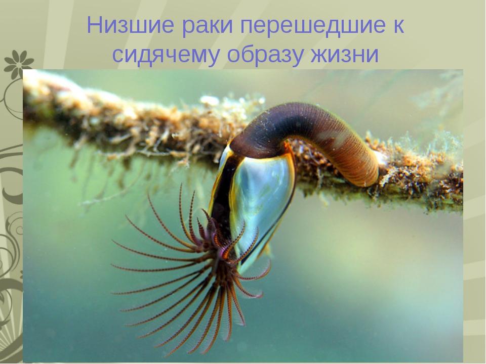 Низшие раки перешедшие к сидячему образу жизни Морская уточка Один из видов р...