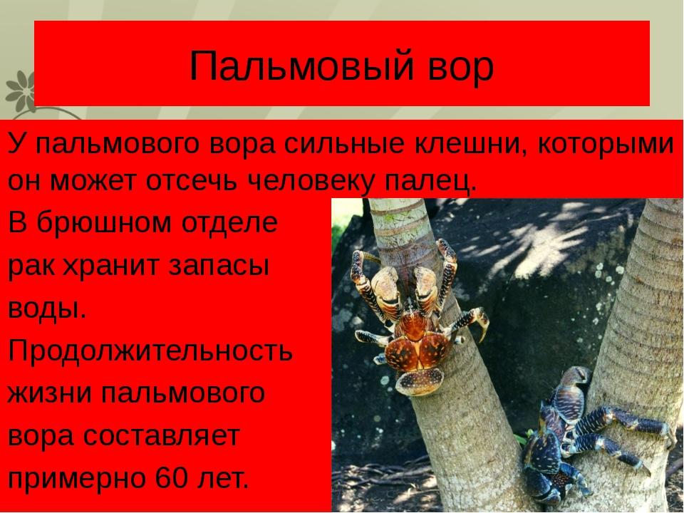 Пальмовый вор У пальмового вора сильные клешни, которыми он может отсечь чело...