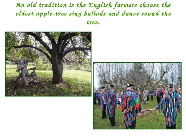 An old tradition is the English farmers choose the oldest apple-tree sing bal...