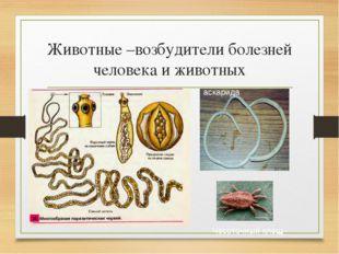 Животные –возбудители болезней человека и животных Чесоточный клещ аскарида