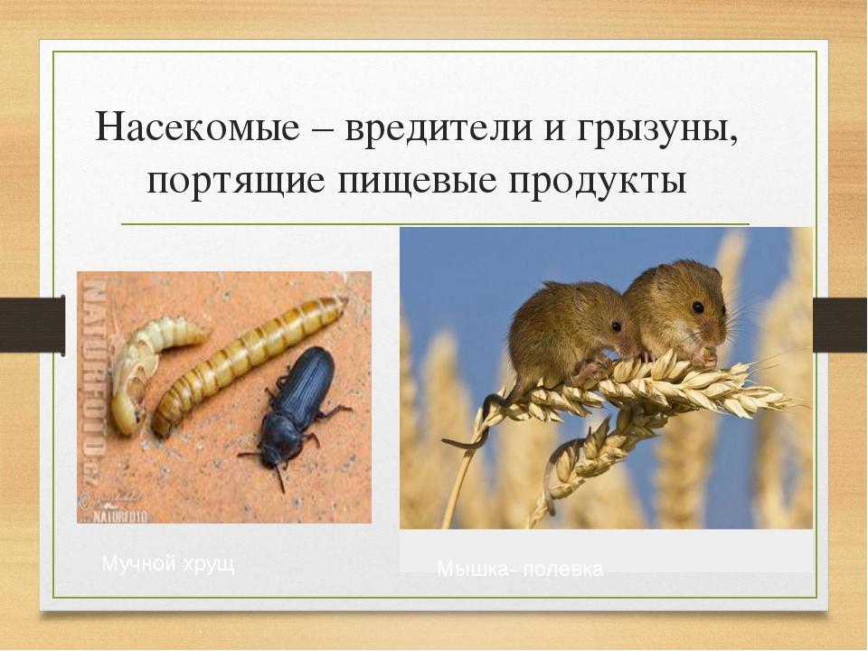 Насекомые – вредители и грызуны, портящие пищевые продукты Мучной хрущ Мышка-...
