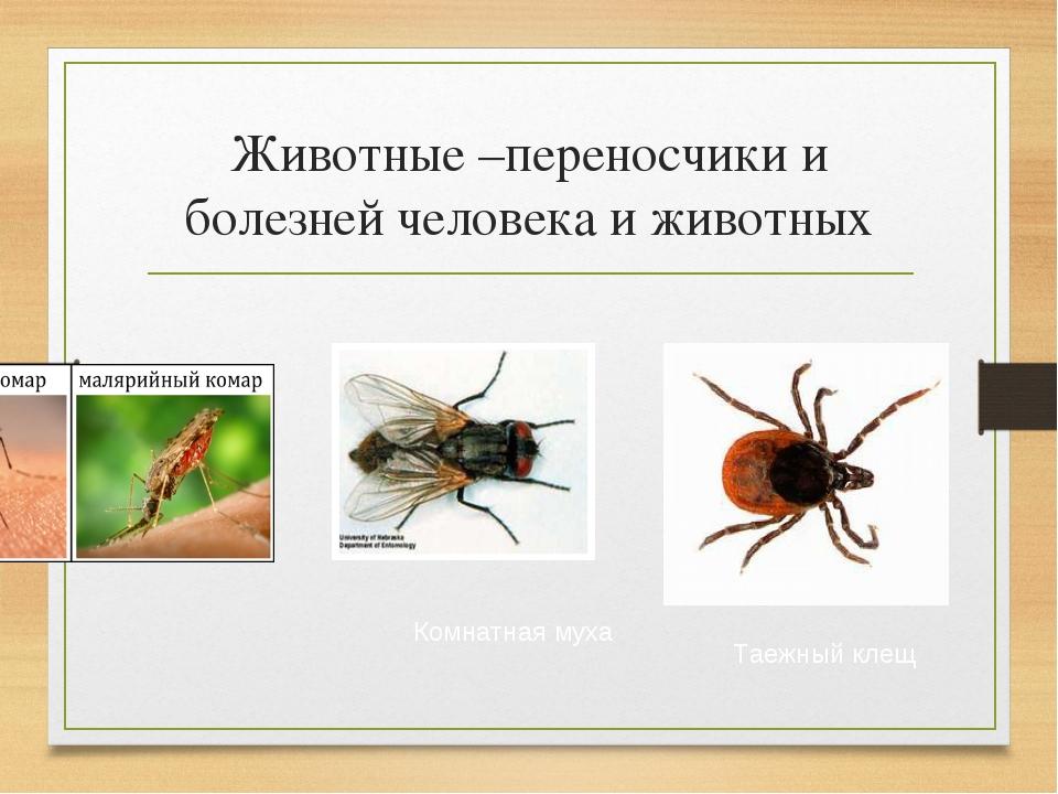 Животные –переносчики и болезней человека и животных Комнатная муха Таежный к...