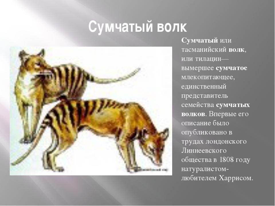 Сумчатый волк Сумчатый или тасманийский волк, или тилацин— вымершее сумчатое...