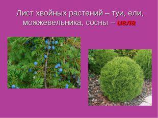 Лист хвойных растений – туи, ели, можжевельника, сосны – игла