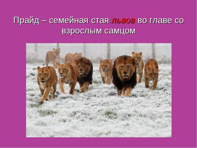 Прайд – семейная стая львов во главе со взрослым самцом