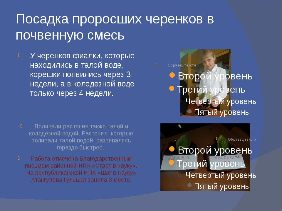 Посадка проросших черенков в почвенную смесь У черенков фиалки, которые наход...