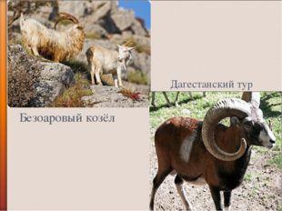 Дагестанский тур Безоаровый козёл