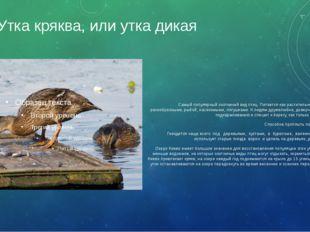 Утка кряква, или утка дикая Самый популярный охотничий вид птиц. Питается как