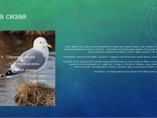 Чайка сизая Сизая чайка очень широко распространена на территории нашей стран