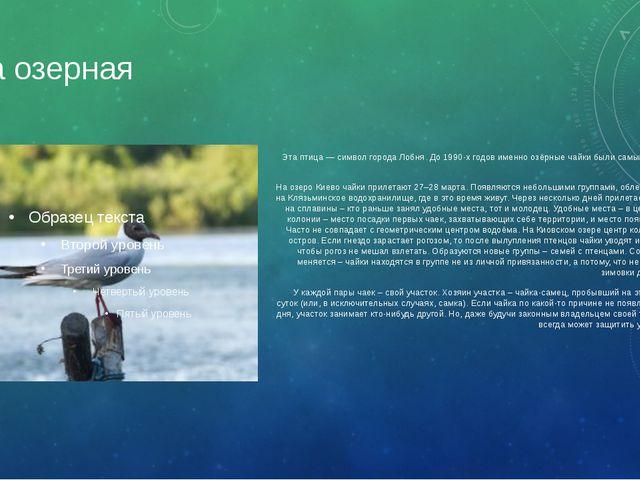 Чайка озерная Эта птица — символ города Лобня. До 1990-х годов именно озёрные...