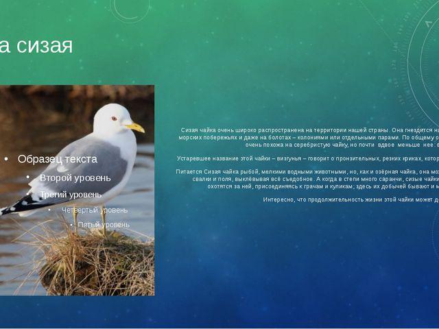 Чайка сизая Сизая чайка очень широко распространена на территории нашей стран...
