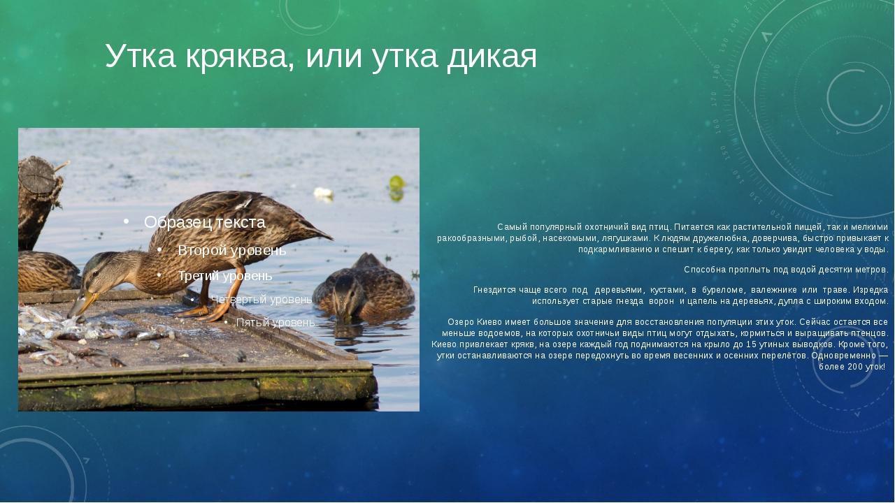 Утка кряква, или утка дикая Самый популярный охотничий вид птиц. Питается как...