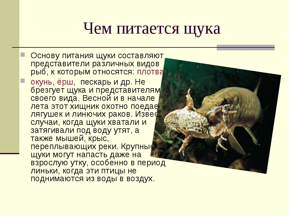Чем питается щука Основу питания щуки составляют представители различных видо...