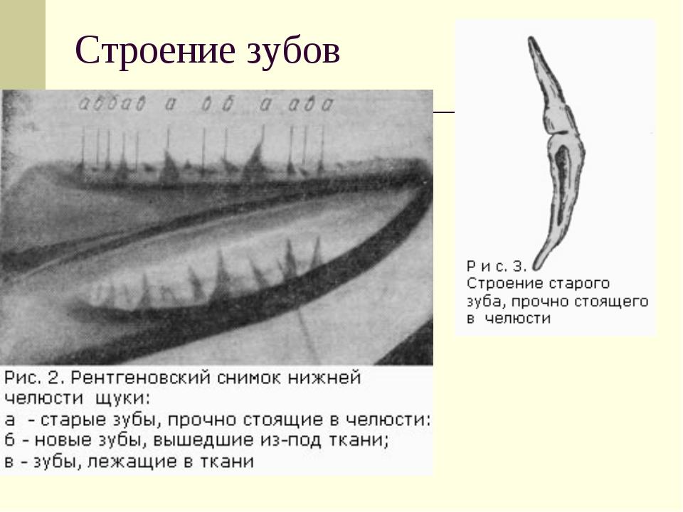 Строение зубов