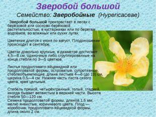 Зверобой большой Семейство:Зверобойные (Hypericaceae) Зверобой большойпро