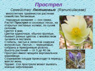 Прострел Семейство:Лютиковые (Ranunculaceae) многолетнее травянистое расте