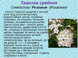 Таволга средняя Семейство:Розовые (Rosaceae) Растет Таволга средняя в лесн