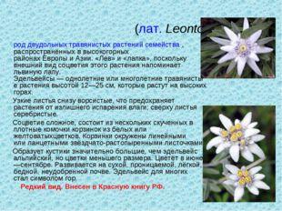 Эдельве́йс(лат.Leontopódium) роддвудольныхтравянистых растенийсемейства,