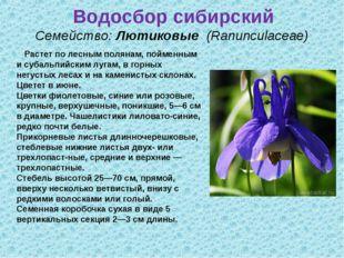 Водосбор сибирский Семейство:Лютиковые (Ranunculaceae) Растет по лесным по