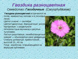 Гвоздика разноцветная Семейство:Гвоздичные (Caryophylláceae) Гвоздика разно