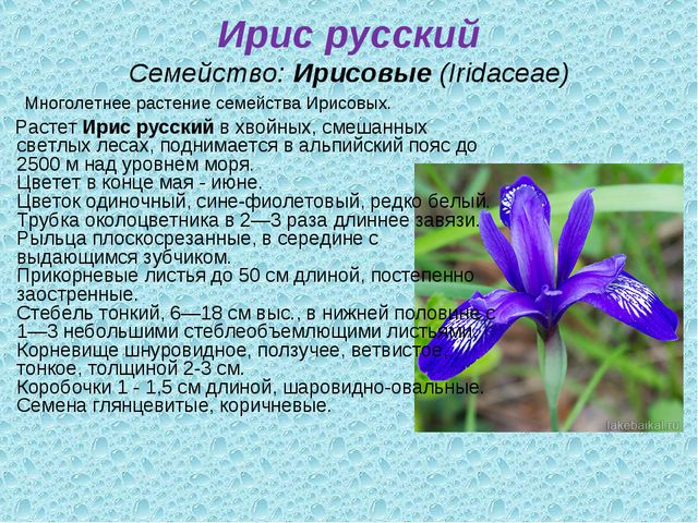 Ирис русский Семейство:Ирисовые(Iridaceae) Многолетнее растение семейства И...