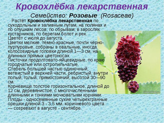 Кровохлёбка лекарственная Семейство:Розовые (Rosaceae) РастётКровохлёбка л...