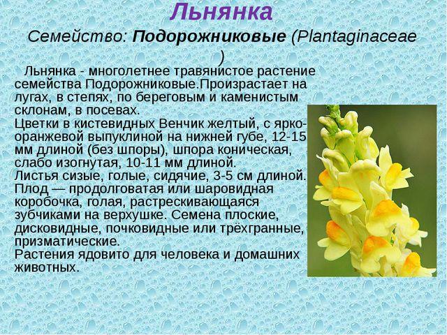 Льнянка Семейство:Подорожниковые(Plantaginaceae) Льнянка - многолетнее трав...