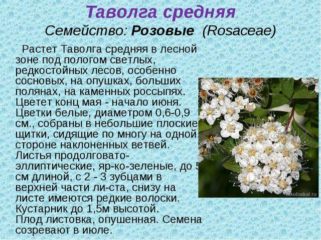 Таволга средняя Семейство:Розовые (Rosaceae) Растет Таволга средняя в лесн...