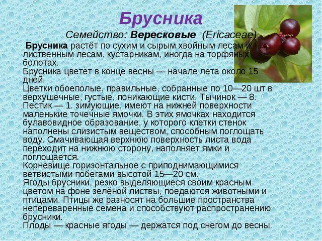 Брусника Семейство:Вересковые (Ericaceae) Брусникарастёт по сухим и сырым...