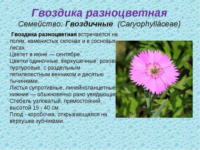 Гвоздика разноцветная Семейство:Гвоздичные (Caryophylláceae) Гвоздика разно...