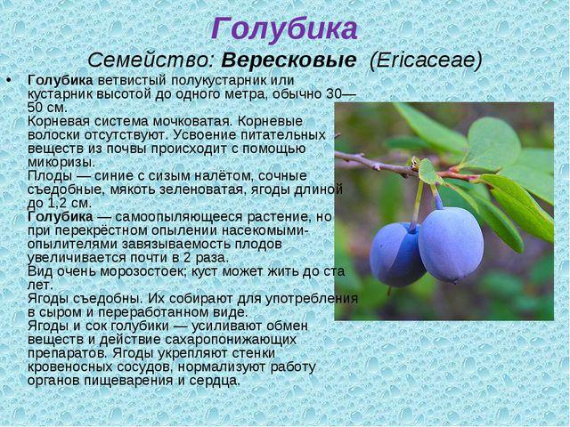 Голубика Семейство:Вересковые (Ericaceae) Голубикаветвистый полукустарник...