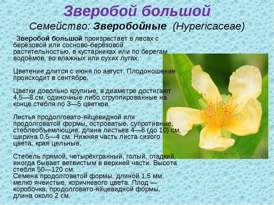Зверобой большой Семейство:Зверобойные (Hypericaceae) Зверобой большойпро...