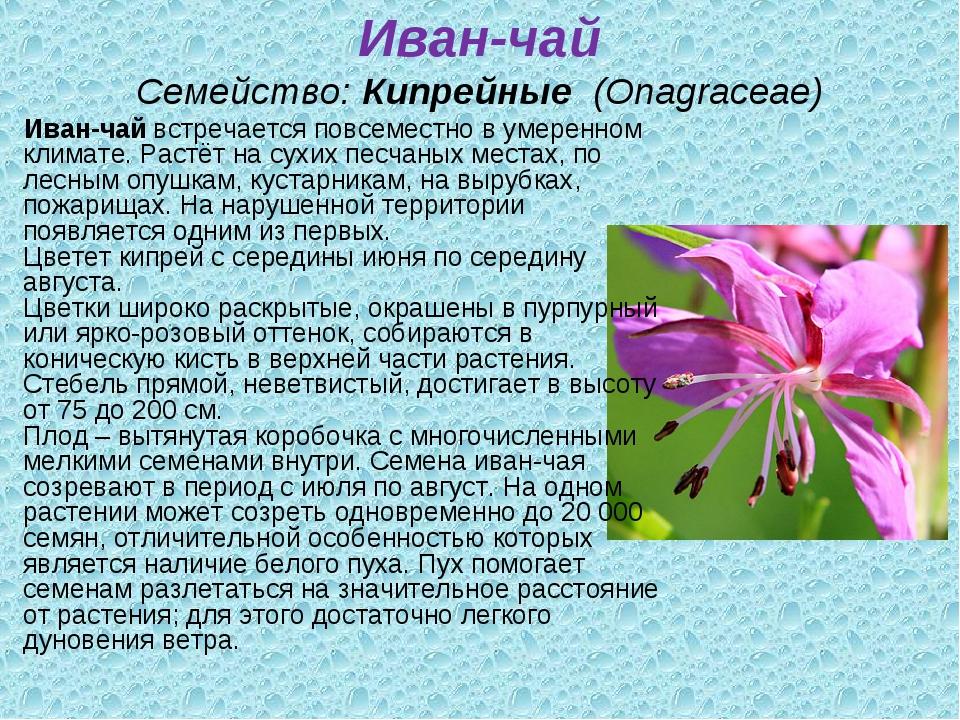 Иван-чай Семейство:Кипрейные (Onagraceae) Иван-чайвстречается повсеместно...