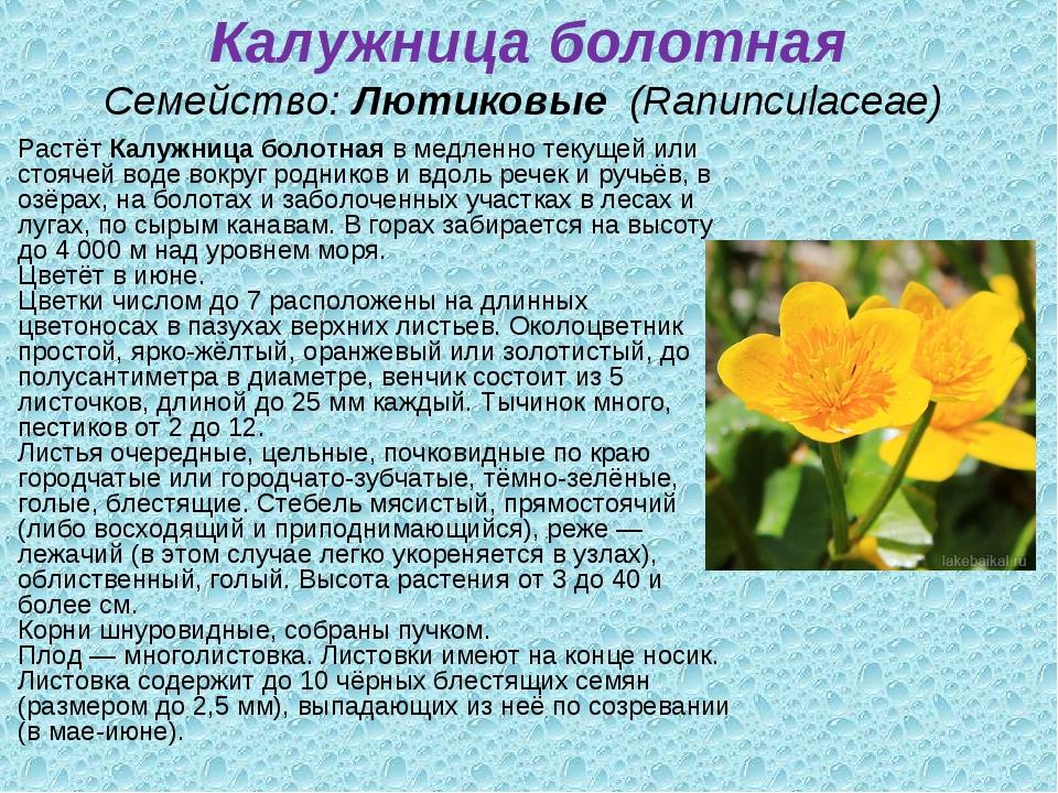 Калужница болотная Семейство:Лютиковые (Ranunculaceae) РастётКалужница бо...