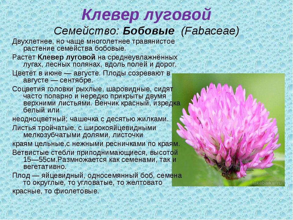 Клевер луговой Семейство:Бобовые (Fabaceae) Двухлетнее, но чаще многолетнее...