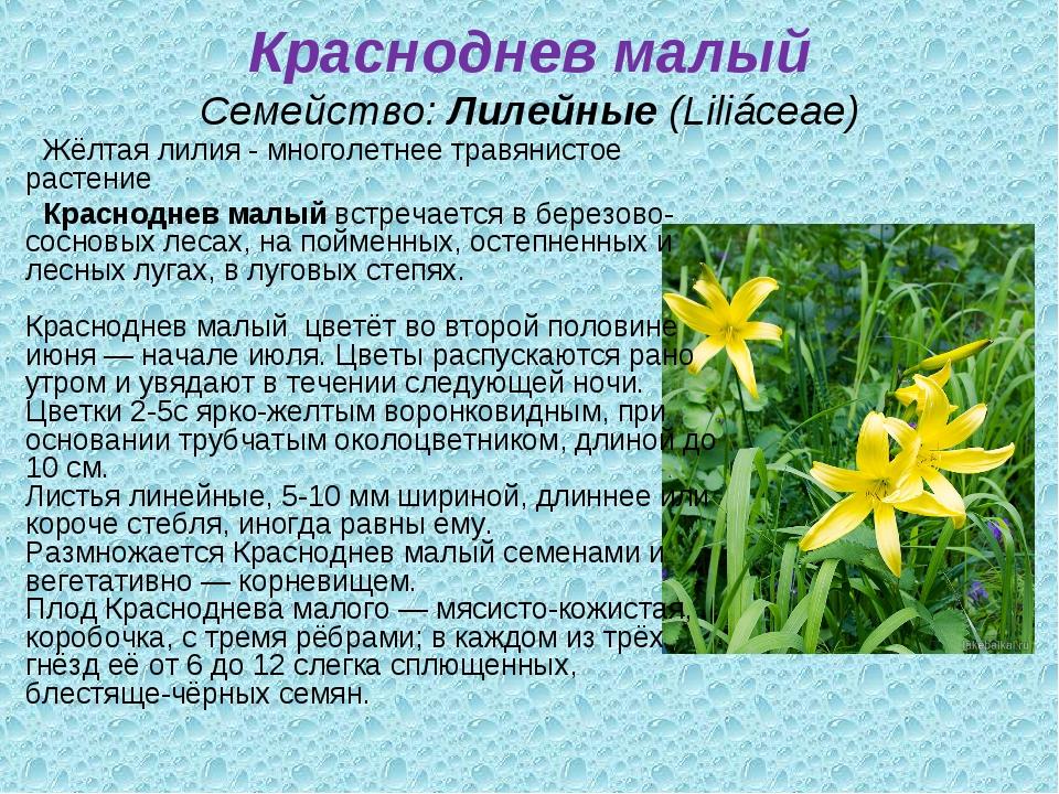 Красноднев малый Семейство:Лилейные(Liliáceae) Жёлтая лилия - многолетнее т...
