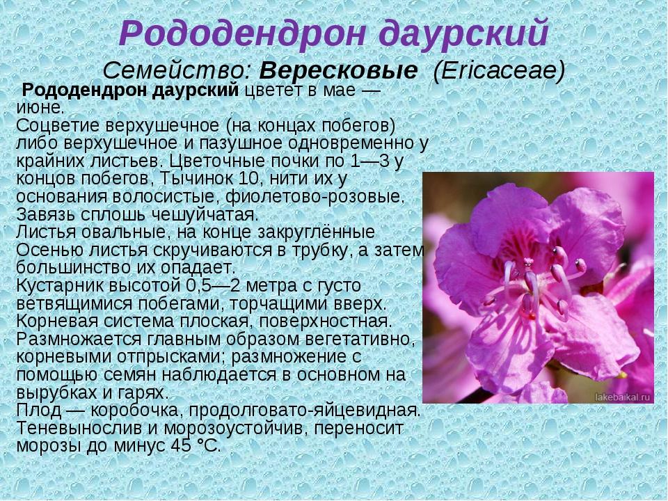 Рододендрон даурский Семейство:Вересковые (Ericaceae) Рододендрон даурский...