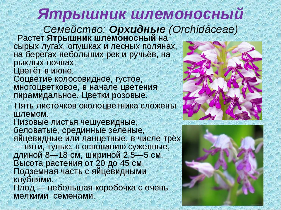 Ятрышник шлемоносный Семейство:Орхидные(Orchidáceae) РастётЯтрышник шлемон...